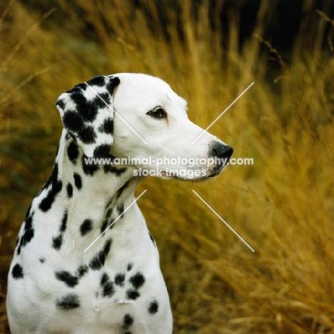 ravenswing fiorella of trumpeters (asta), dalmatian portrait