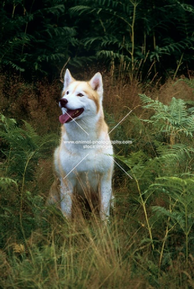 ch forstal's noushka, siberian husky sitting in backen and grasses