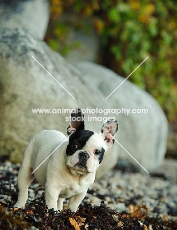 young French Bulldog near riverside