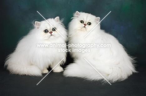 two chinchilla cats