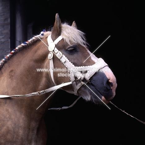 Herman van Halfweg, Dutch Draught Horse stallion head shot