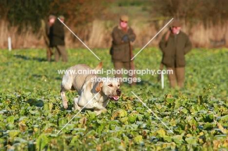 Labrador Retriever on a hunt