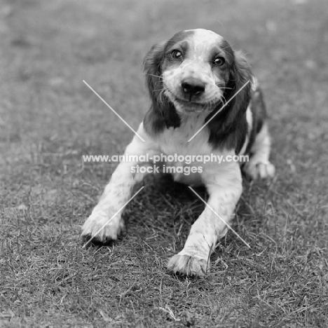 smiling welsh springer spaniel puppy