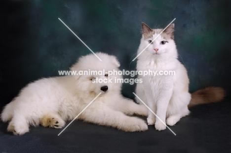 Ragdoll blue bi-colour cat with Samoyed puppy