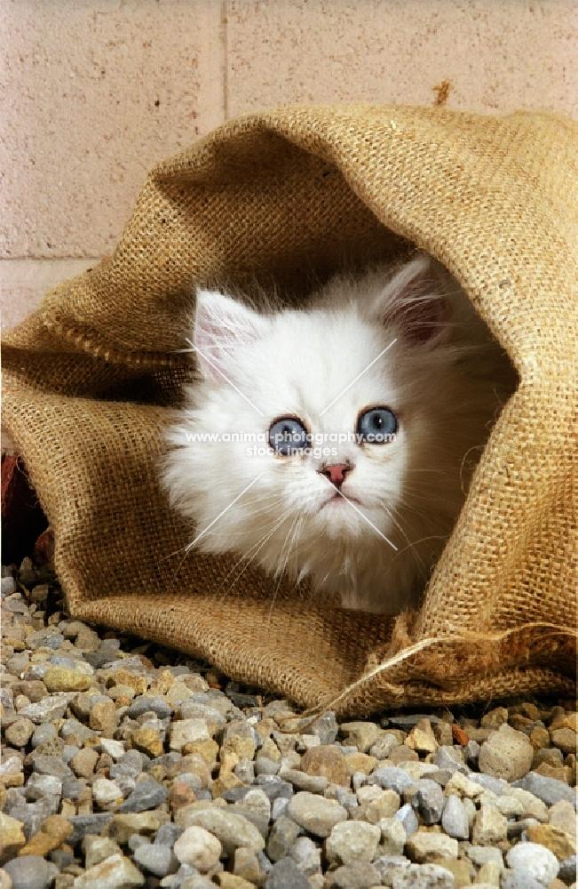 chinchilla in a bag