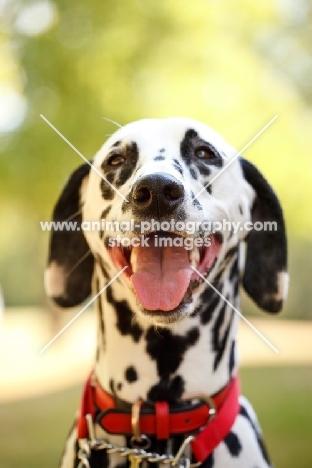 cheerful Dalmatian wearing red collar