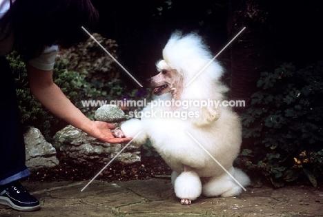 miniature poodle shaking hands