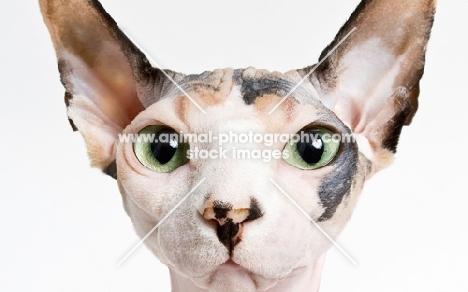 head of sphynx cat