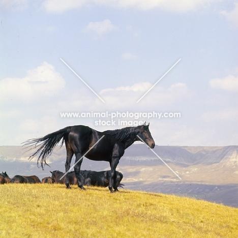 Kabardine stallion in the Caucasus mountains