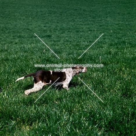 pointer on point in grass