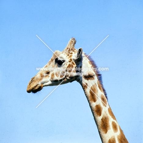 giraffe, side view portrait