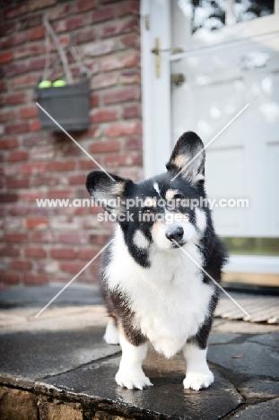pembroke welsh corgi standing on doorstep