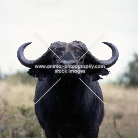 buffalo in east africa, queen elizabeth np, head study