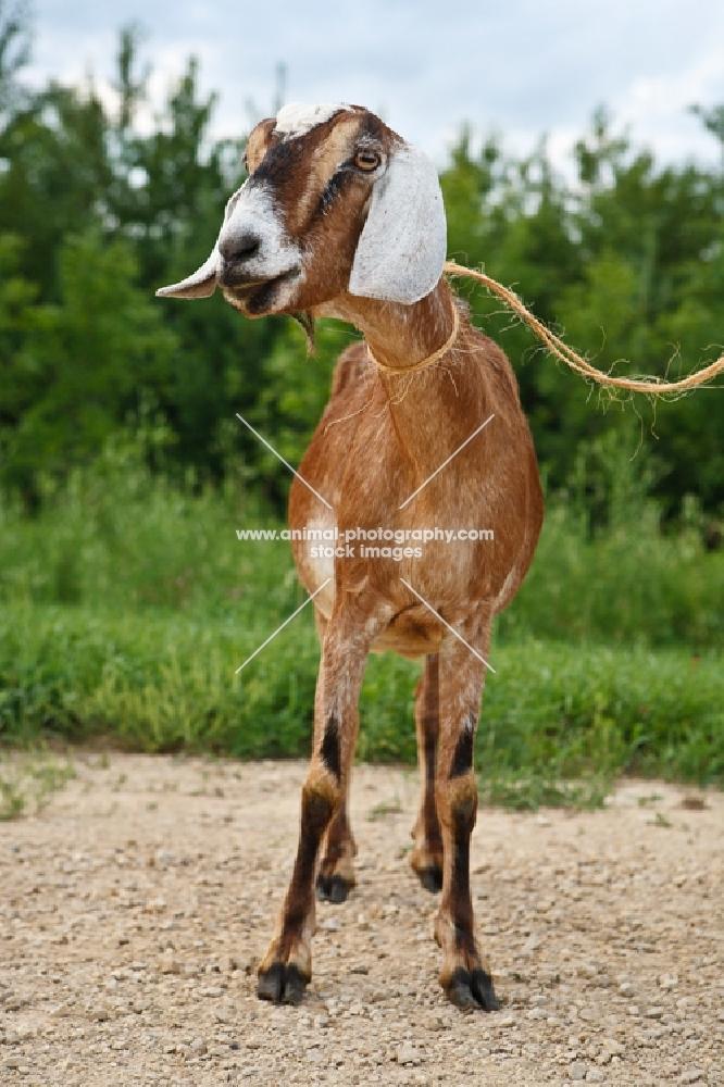 nubian goat on lead