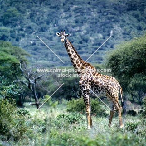 giraffe looking at camera in lake manyara np