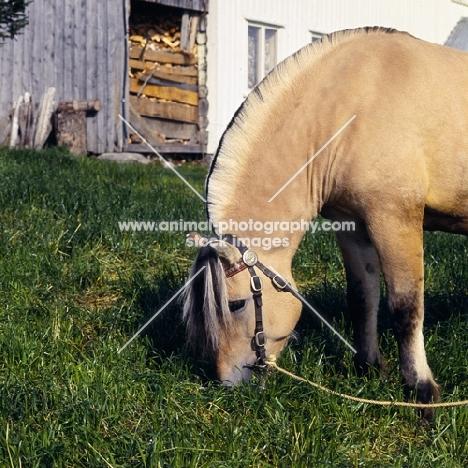 Maihelten 1692, Fjord Pony grazing