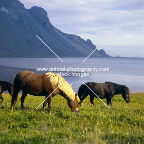Iceland horses at Hofn on idyllic backdrop in Iceland
