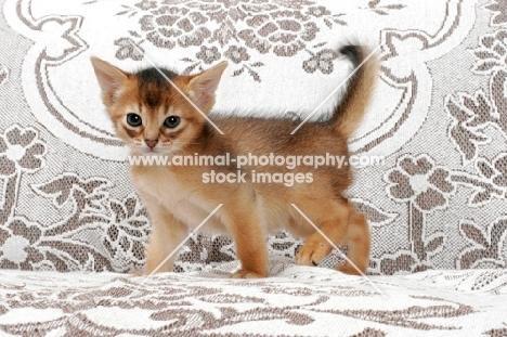 ruddy Abyssinian kitten walking on sofa