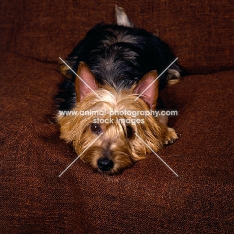 australian terrier lying on a chair