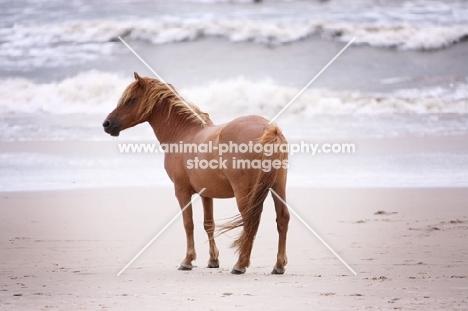 Wild Assateague horse on beach in front of ocean