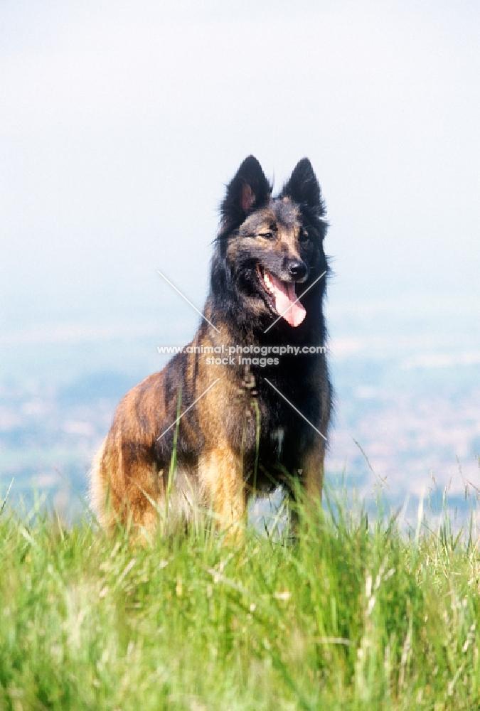 tervueren standing on hilltop