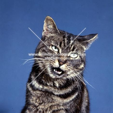 tabby cat speaking