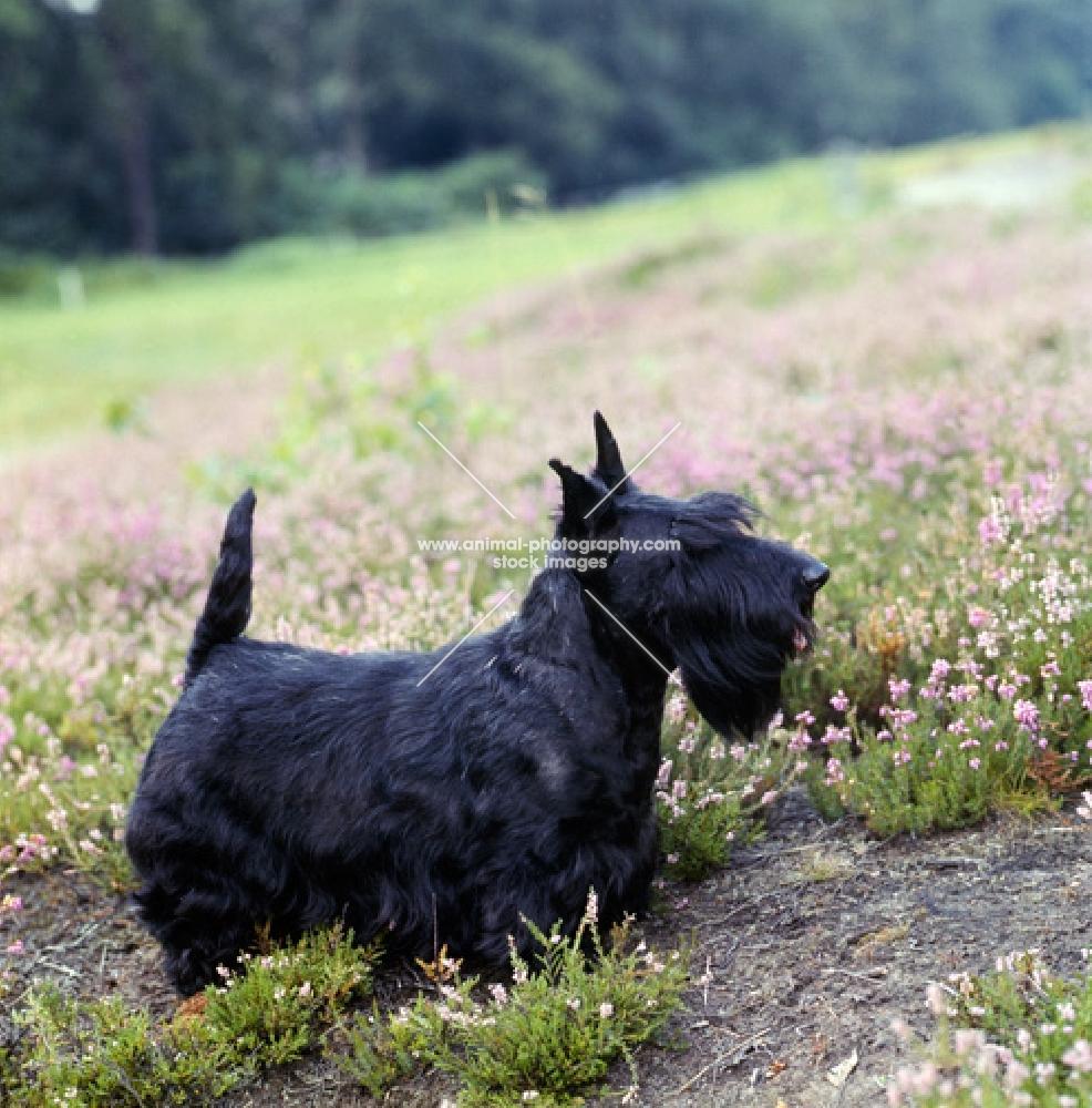 scottish terrier, ch gaywyn titania, standing in heather