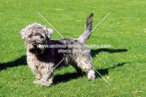 Glen of Imaal Terrier on grass