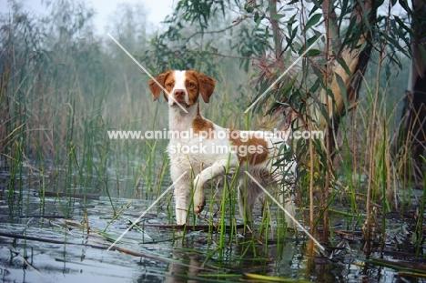 alert Brittany spaniel in water