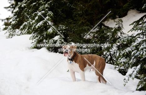 Old English Bulldog in snow