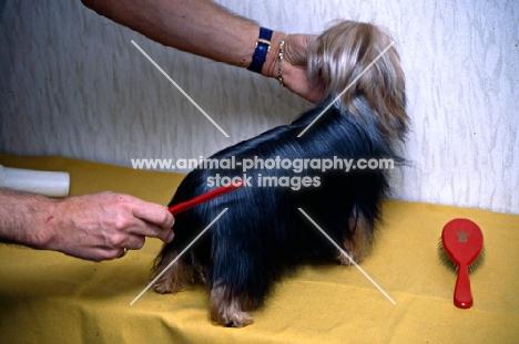 combin a yorkshire terrier