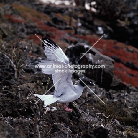 swallow tailed gull landing on lava, champion island, galapagos islands