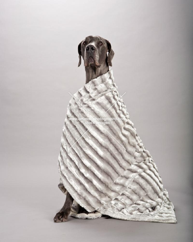 Great Dane in blanket