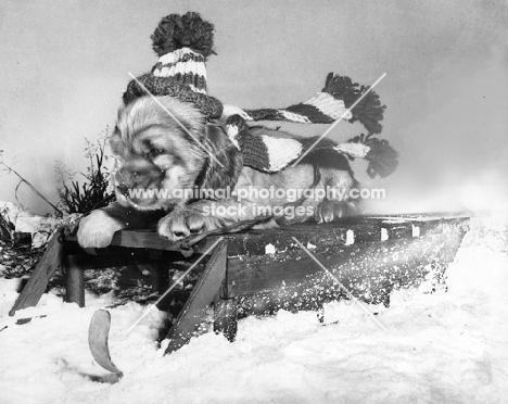 Cocker Spaniel puppy on sleigh