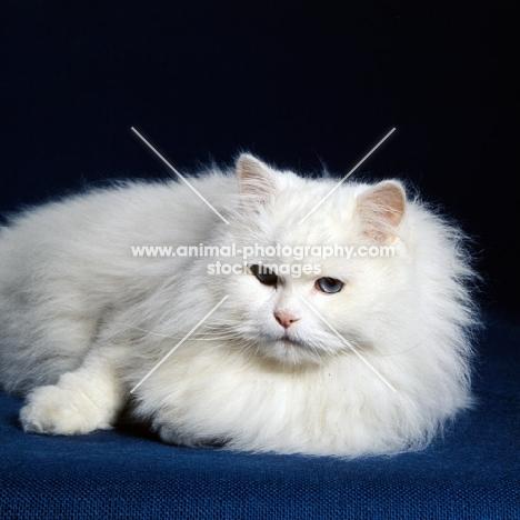 blue eyed white long hair cat