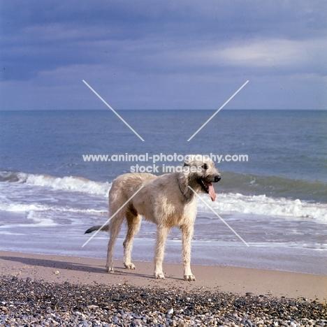 ballykelly torram,  irish wolfhound near sea