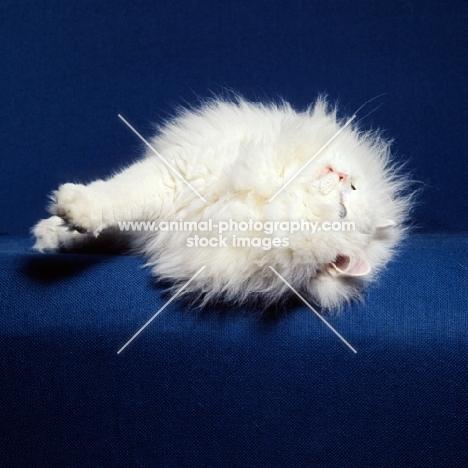 blue eyed white long hair cat rolling