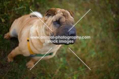 fawn shar pei sitting on grass