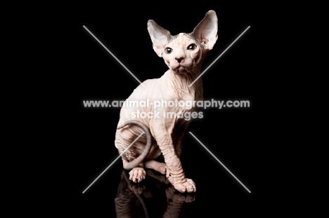 sphynx kitten looking toward camera