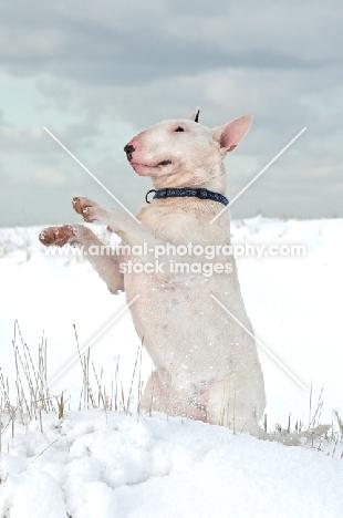 Bull Terrier on hind legs