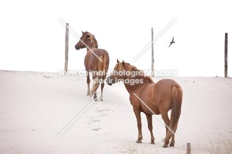 two wild horses on Assateague beach