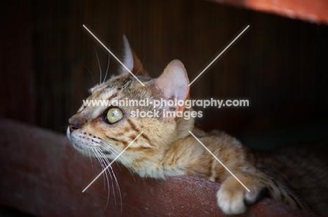 young curious bengal cat