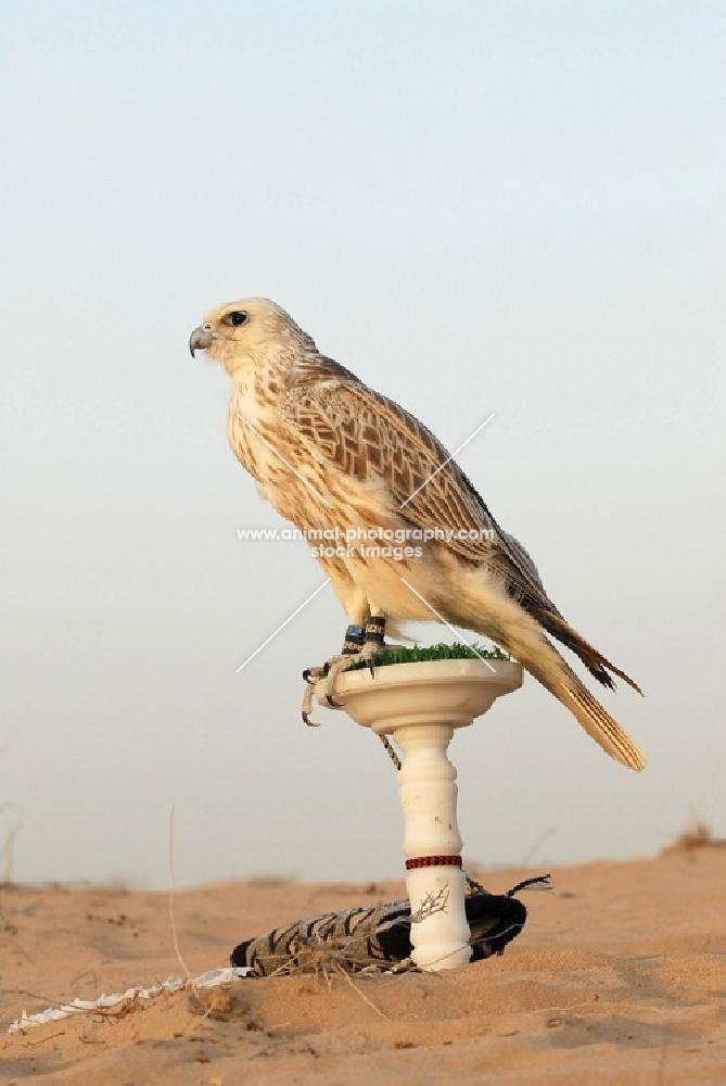 Falcon in Dubai