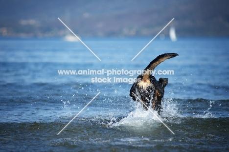black and tan dobermann cross jumping in blue water