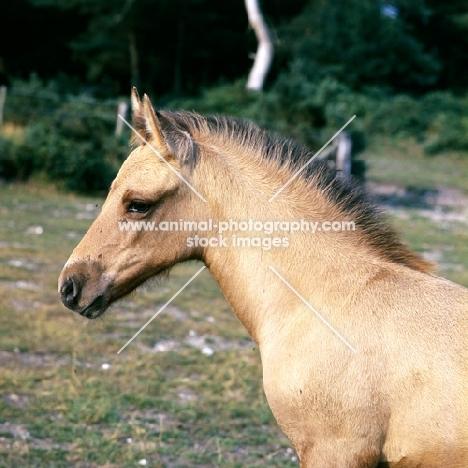 Fjord Pony cross Arab foal