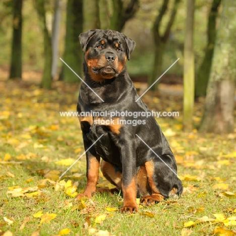 Rottweiler in autumn