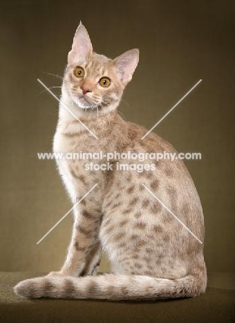 Ocicat sitting down