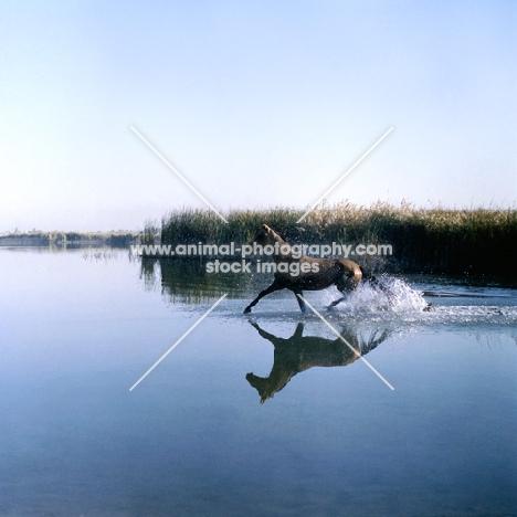 akhal teke horse trotting through water
