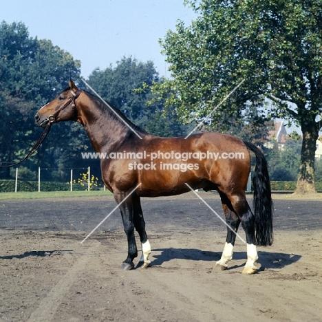 hanoverian stallion duft 11 at celle