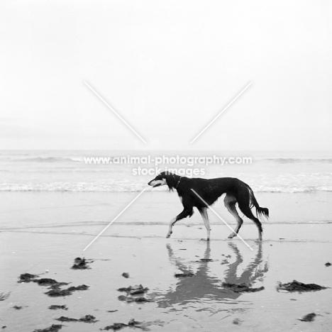 ch burydown hephzibah, saluki walking on beach